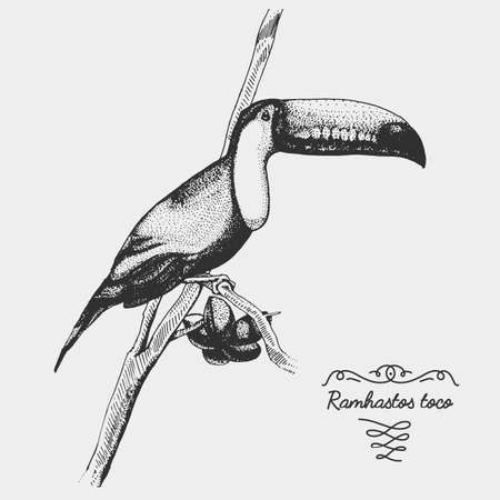 hand drawn vector realistic bird, sketch graphic style,toco toucan, ramphastos toco Illustration