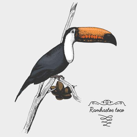 hand drawn vector realistic bird, sketch graphic style,toco toucan, ramphastos toco Illustration