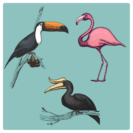 set of 3 hand drawn vector realistic birds, sketch graphic style, rhinoceros hornbill, toco toucan, phonicopteridae, Illustration