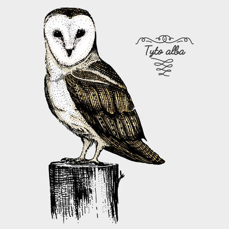 hand drawn vector realistic bird, sketch graphic style, barn owl , tyto alba