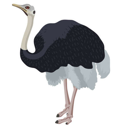 flightless: cartoon detalised bird isolated on white background