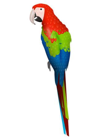 periquito: Detalised la historieta del pájaro aislado en el fondo blanco Vectores