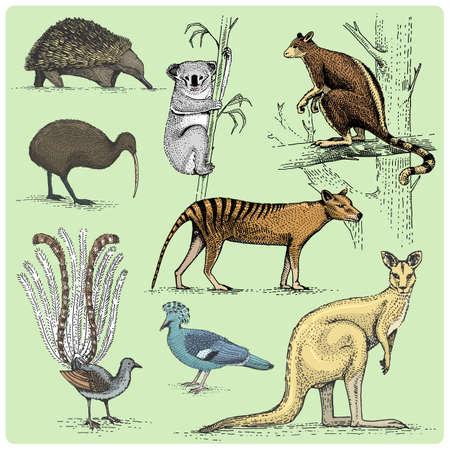 conjunto de animales australianos grabados, Ilustración de vector dibujado a mano en estilo scratchboard de grabar en madera, especies dibujo vintage. Vectores