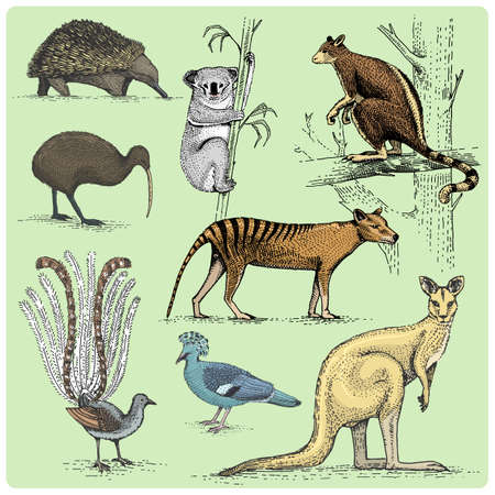 set of australian animals engraved, hand drawn vector illustration in woodcut scratchboard style, vintage drawing species. Illustration