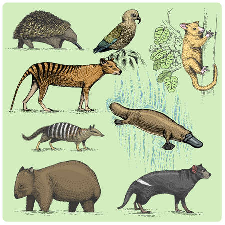 australian animals: set of australian animals engraved, hand drawn vector illustration in woodcut scratchboard style, vintage drawing species. Illustration