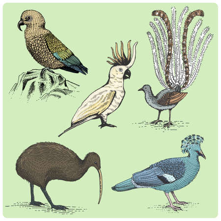 goshawk: set of australian birds engraved, hand drawn vector illustration in woodcut scratchboard style, vintage drawing species. Illustration