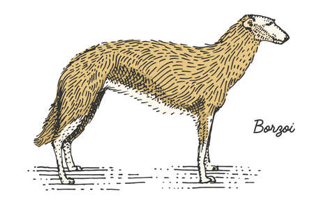 borzoi: dog breed engraved, hand drawn vector illustration in woodcut scratchboard style, vintage species. Illustration