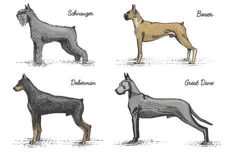 dalmatian: dog breeds engraved, hand drawn vector illustration in woodcut scratchboard style, vintage drawing species.