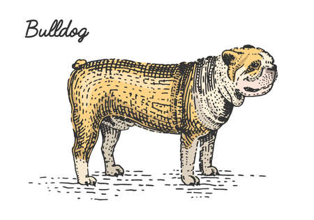 dog breed engraved, hand drawn vector illustration in woodcut scratchboard style, vintage species. Illustration
