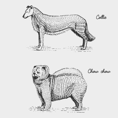 chow: dog breed engraved, hand drawn vector illustration in woodcut scratchboard style, vintage species. Illustration
