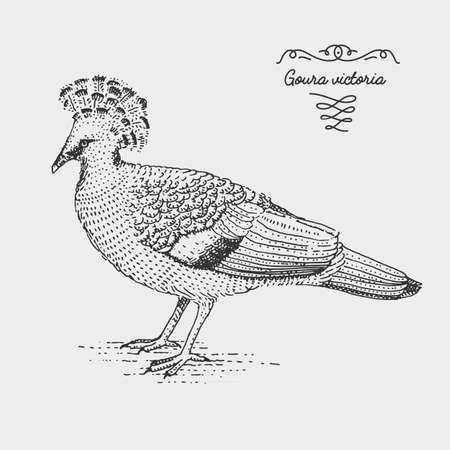 vulnerable: Victoria Crowned Pigeon engraved, hand drawn vector illustration in woodcut scratchboard style, vintage drawing species.