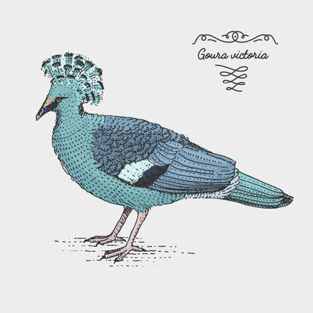 Victoria Crowned Pigeon engraved, hand drawn vector illustration in woodcut scratchboard style, vintage drawing species.