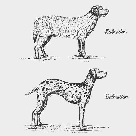 dalmatian puppy: dog breed engraved, hand drawn vector illustration in woodcut scratchboard style, vintage species. Illustration