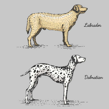 dalmatian: dog breed engraved, hand drawn vector illustration in woodcut scratchboard style, vintage species. Illustration