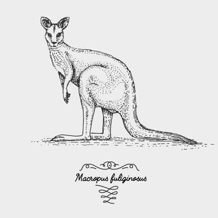 The western grey kangaroo engraved, hand drawn vector illustration in woodcut scratchboard style, vintage drawing species.