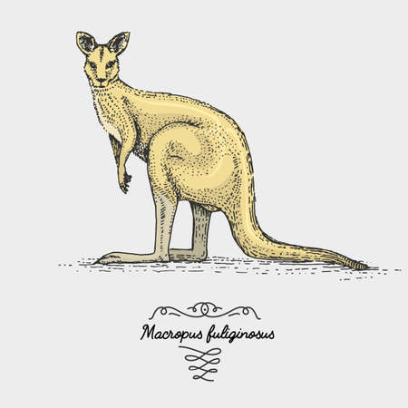 outback: The western grey kangaroo engraved, hand drawn vector illustration in woodcut scratchboard style, vintage drawing species.