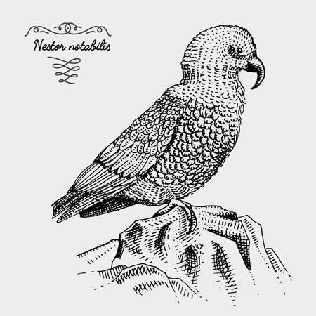 kea bird engraved, hand drawn vector illustration in woodcut scratchboard style, vintage drawing species. Illustration