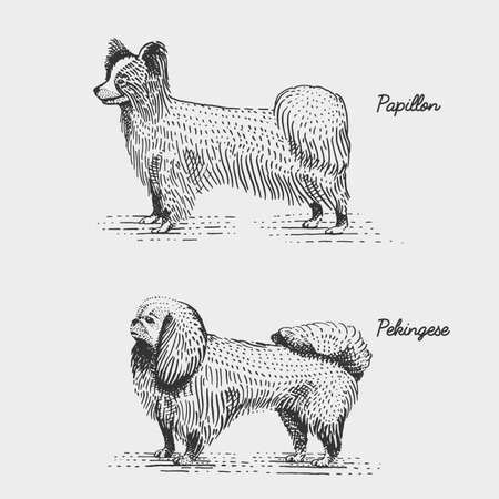 pekingese: dog breeds engraved, hand drawn vector illustration in woodcut scratchboard style, vintage species. papillon and pekingese Illustration