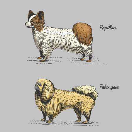 dog breeds engraved, hand drawn vector illustration in woodcut scratchboard style, vintage species. papillon and pekingese Illustration
