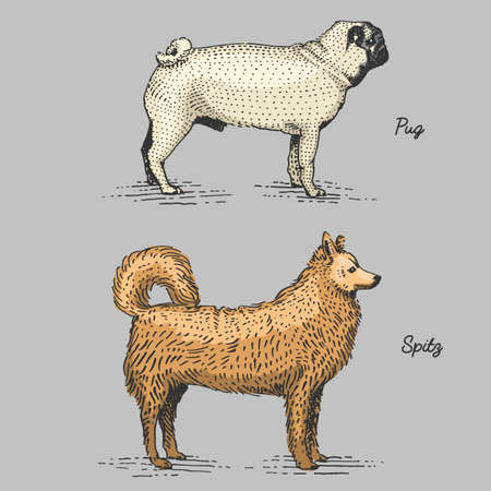 dog breeds engraved, hand drawn vector illustration in woodcut scratchboard style, vintage species. pug and spitz
