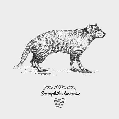 tasmanian devil engraved, hand drawn vector illustration in woodcut scratchboard style, vintage drawing australian species. sacrophilus laniarius