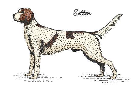 dog breeds engraved, hand drawn vector illustration in woodcut scratchboard style, vintage species. setter