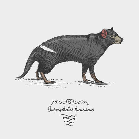 scavenger: tasmanian devil engraved, hand drawn vector illustration in woodcut scratchboard style, vintage drawing australian species. sacrophilus laniarius