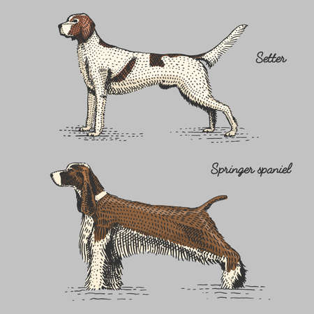 dog breeds engraved, hand drawn vector illustration in woodcut scratchboard style, vintage species. setter and springer spaniel Illustration