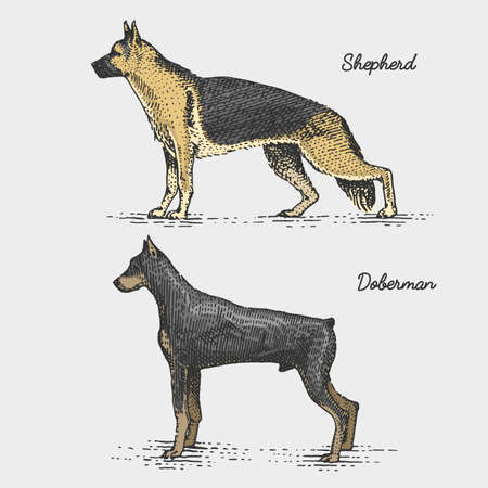 dog breeds engraved, hand drawn vector illustration in woodcut scratchboard style, vintage species. german shepherd and doberman
