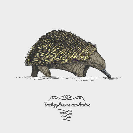 species: Echidna Tachyglossus aculeatus engraved, hand drawn vector illustration in woodcut scratchboard style, vintage drawing australian species rare Illustration