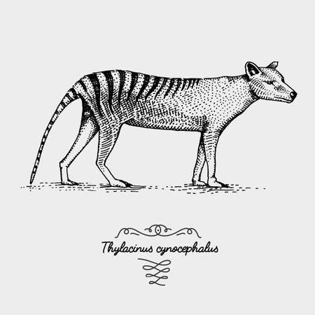 Tasmanian wolf Thylacinus cynocephalus engraved, hand drawn vector illustration in woodcut scratchboard style, vintage drawing australian extinct species Иллюстрация