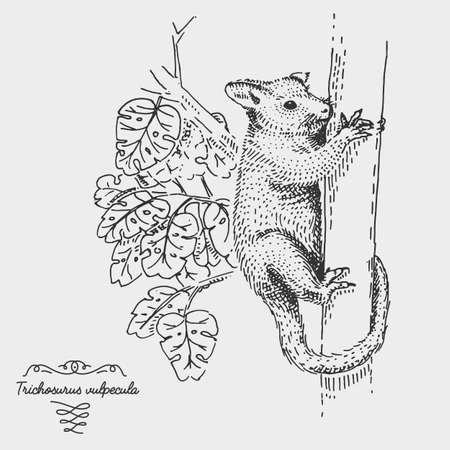 tree dweller: Common Brushtail Possum Trichosurus vulpecula engraved, hand drawn vector illustration in woodcut scratchboard style, vintage drawing australian species.
