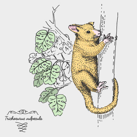 Common Brushtail Possum Trichosurus vulpecula engraved, hand drawn vector illustration in woodcut scratchboard style, vintage drawing australian species.