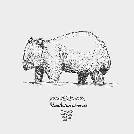 wilsons promontory: wombat juvenile Vombatus ursinus engraved, hand drawn vector illustration in woodcut scratchboard style, vintage drawing australian species. Illustration
