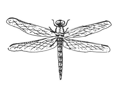 antenna dragonfly: beetle, insect species isolated engraved, hand drawn animal in vintage style
