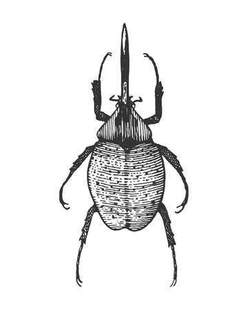 beetle, insect species isolated engraved, hand drawn animal in vintage style