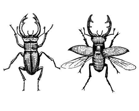 stag beetle engraved vintage hand drawn in scratchboard style