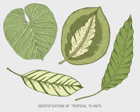 Engraved, hand drawn tropical or exotic leaves isolated, leaf of different vintage looking plants. monstera and fern, palm with banana botany set.