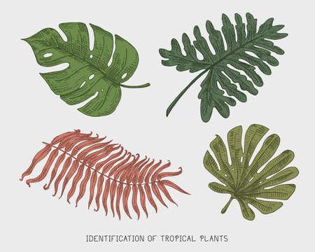 engraved, hand drawn tropical or exotic leaves isolated, leaf of different vintage looking plants. monstera and fern, palm with banana botany set Reklamní fotografie - 78734696