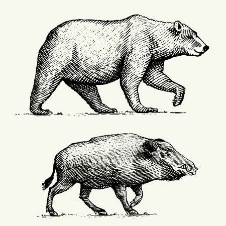 wild Bear grizzly and boar or pig engraved hand drawn in old sketch style, vintage animals