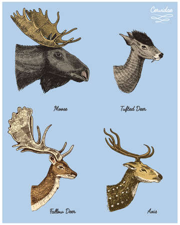 moose or eurasian elk, tufted deer, roe or doe, axis vector hand drawn illustration, engraved wild animals with antlers or horns vintage looking heads side view Illustration