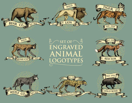 big set of vintage emblems, logos or badges with wild animals tiger, lion king, bobcat lynx leopard and boar, bear and wolf, red fox hand drawn, engraved