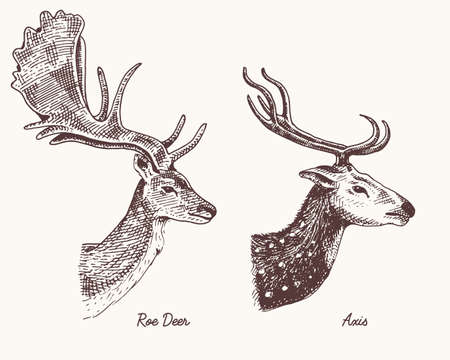 roe deer or doe, axis or indian dotted vector hand drawn illustration, engraved wild animals with antlers or horns vintage looking heads side view Illustration