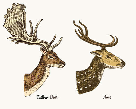 roe deer or doe, axis or indian dotted vector hand drawn illustration, engraved wild animals with antlers or horns vintage looking heads side view Stock Vector - 77270912