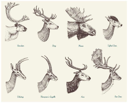 Big set of Horn, antlers Animals moose or elk with impala, gazelle and greater kudu, fallow deer reindeer and stag, doe or roe deer, axis and dibatag hand drawn, engraved Stock Vector - 77270906