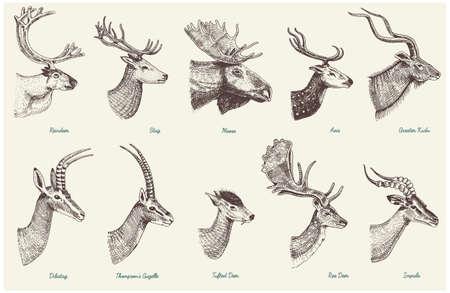 角、角動物ムースやインパラ、ガゼルと大きなクーズー、ダマジカ トナカイとクワガタ、doe やノロジカ、軸およびディバタグでエルクの大きなセッ  イラスト・ベクター素材