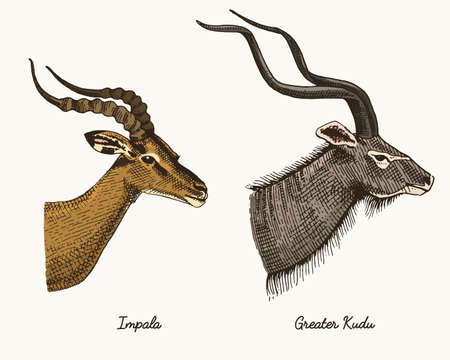 antelopes impala and greater kudu vector hand drawn illustration, engraved wild animals with antlers or horns vintage looking heads side view