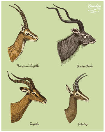 antelopes greater kudu, gazelle thompsons, dibatag and impala vector hand drawn illustration, engraved wild animals with antlers or horns vintage looking heads side view Illustration