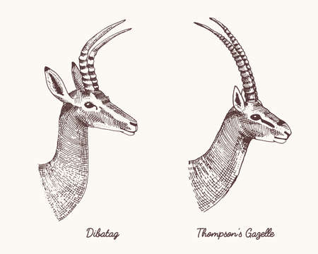 antelopes dibatag and thompsons gazelle vector hand drawn illustration, engraved wild animals with antlers or horns vintage looking heads side view Illustration