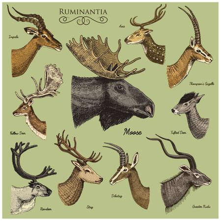 Grote set Hoorn, geweitakken Dieren eland of elanden met impala, gazelle en grotere kudu, hertenherten en herten, doe of hertenherten, as en dibatag met de hand getekend, gegraveerd Stock Illustratie
